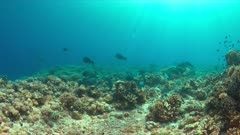 Colorful reef with healthy hard and soft corals and a school of Humphead Parrotfishes. 4k footage