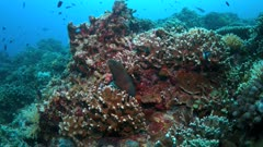 Moray eel on a colorful coral reef with plenty small fish