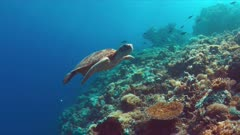 Green Sea turtle swims on a colorful coral reef. 4k footage