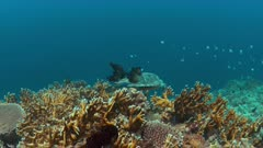 Hawksbill turtle swims on a Coral reef. 4k footage