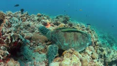 Green Sea turtle with two Sharksuckers on a colorful coral reef. 4k footage