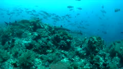 Whitetip Reef Sharks hunting on a coral reef. 4k footage