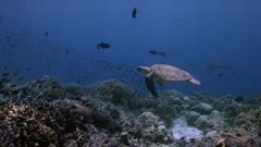 Green Sea Turtle swims on a colorful coral reef. Tubbataha Reef dive site Delsan Wreck 4k footage