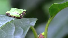 small green tree frog on leaf in forest