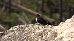 violet green swallow sitting on rock in the mountains