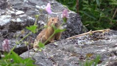 Pika on large rocks in the mountains