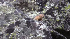 pika sitting on large rock calling out in mountains