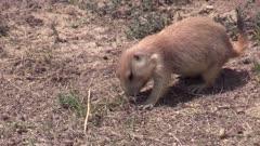 prairie dog in open field