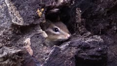 chipmunk peaking out of hollow tree