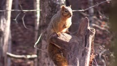 fox squirrel close up sitting on tree stump hand over heart