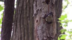 bluebird feeding babies in hollow tree