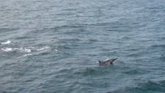 Pod of whitesided dolphins following boat