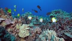Butterflyfish over hawaiian reef