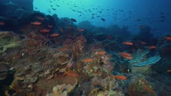 Clouds of reef fish over healthy Clipperton Atoll reef