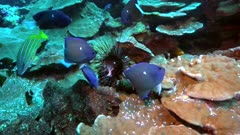 Endemic Clipperton angelfish feeding on a sea urchin