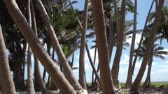 Upwards pan of palm tree plantation