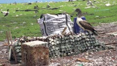 Brown booby perched on abandoned World War II ammunition