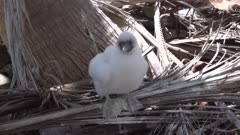 Juvenile Masked booby sitting on palm frond