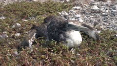 Sick and very thin juvenile brown booby
