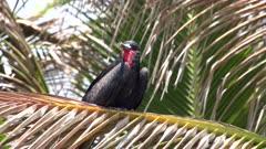 Male frigatebird perched in a plam tree