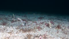 Cortez garden eels coming in and out of burrows