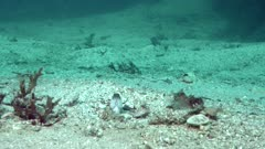 Blue spotted jawfish going in and out of burrow, others in background