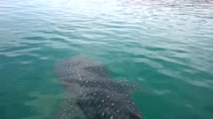 Whaleshark swimmig near the surface and swimming away with dorsal fin breaking the surface