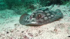 Leopard stingray searching in the sand in kelp forest