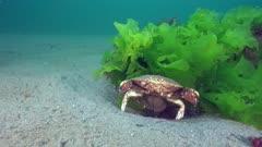 Jonah crab aerating eggs under its abdomen and releasing larvae