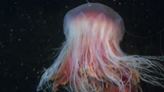 Lions's mane jellyfish in blackwater