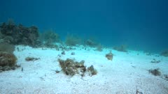 Pair of lizardfish courting, swimming in circles