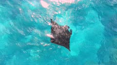 4K aerial of manta rays feeding at the surface in shallow water