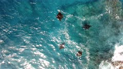 4K aerial of four of manta rays feeding at the surface