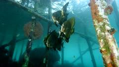 Golden spadefish under jetty in Raja Ampat Indonesia