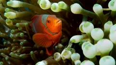 Female Spinecheek anemone fish