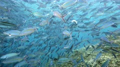 Shooling fusiliers near surface with Giant trevally