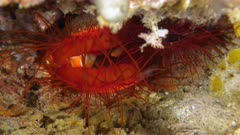Pair of electric clams (disco clams - Ctenoides ales)