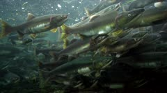 Schooling pink salmon in shallow river