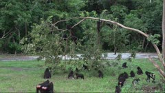 Group of black crested macaques eating, grooming