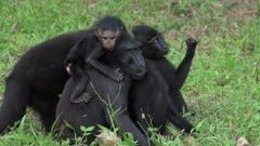 Group of black crested macaquwith young baby