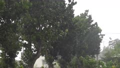 Trees Sway In Heavy Rain And Strong Wind Of Tropical Storm