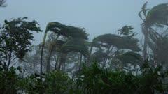 Major Hurricane Wind Lashes Palm Trees Ferociously