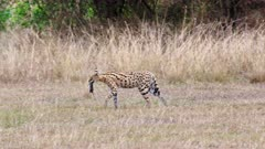 walking Serval with mouse in its mouth (Leptailurus serval), Serengeti National Park, Tanzania, Africa