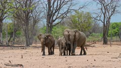 Herd of elephants (Loxodonta africana) with young animals, testing the air, roam thru the South Luangwa National Park, Mfuwe, Zambia, Africa