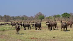 herd of African buffalo or Cape buffalo (Syncerus caffer), South Luangwa National Park, Mfuwe, Zambia, Africa