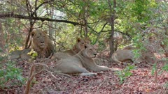 pride of lions lying in shade, lion (Panthera leo), South Luangwa National Park, Mfuwe, Zambia, Africa