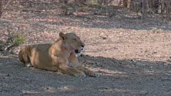 lioness lying in shade, lion (Panthera leo), South Luangwa National Park, Mfuwe, Zambia, Africa