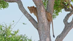 tree climbing lion taking cool air and stucks, lion (Panthera leo), South Luangwa National Park, Mfuwe, Zambia, Africa