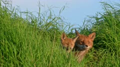 red fox (Vulpes vulpes) with puppy hidden in the tall grass, Heinsberg, North Rhine-Westphalia, Germany