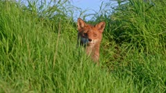 red fox (Vulpes vulpes) hidden in the tall grass, Heinsberg, North Rhine-Westphalia, Germany